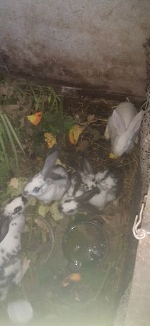 Продаются  кролики порода  Бабочки  цена 3 тыс.