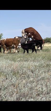 Бык корова теленок телка