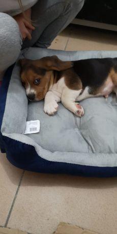 băieței si fetițe beagle tricolori rasa pură din părinte cu pedigree