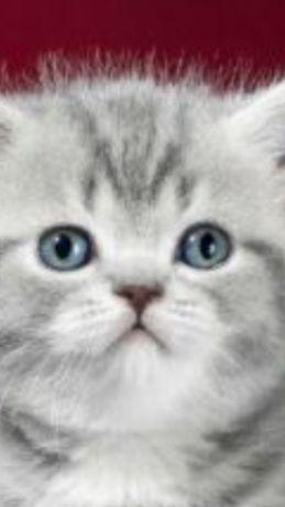 Продам котят полубританчиков.
