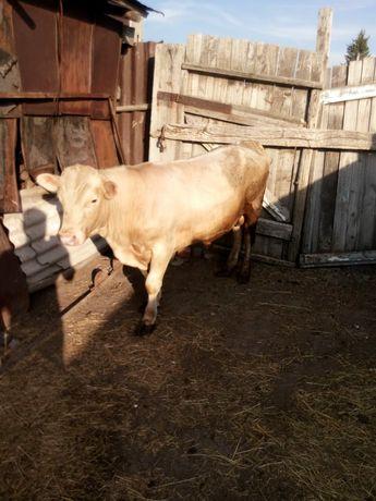 Продам бычка,коров, теляи