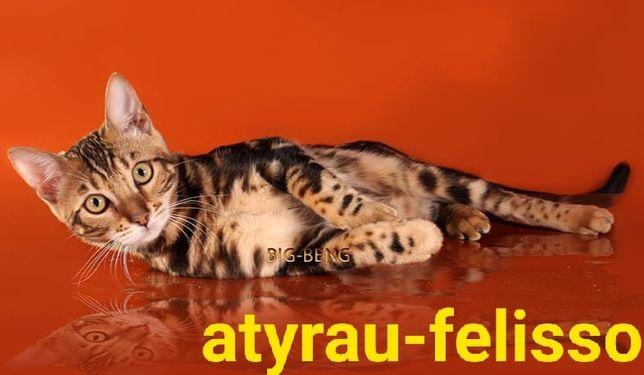 Бенгалы-бенгальские котята