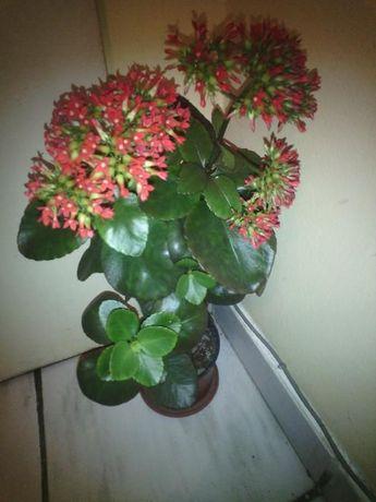 Цвете Каланхое - стайно растение