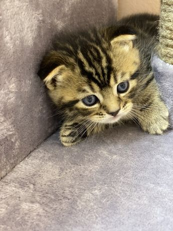 Продается  шотландский котик.
