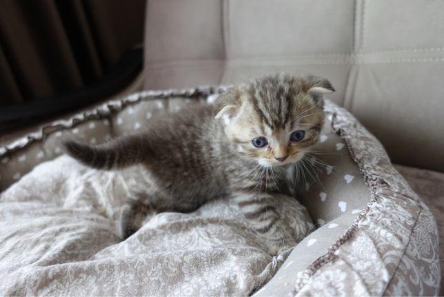 Продаются шотландские котята