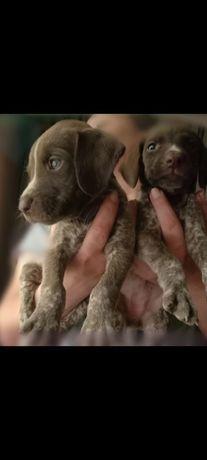Продам щенка- мальчика породы Курцхаар