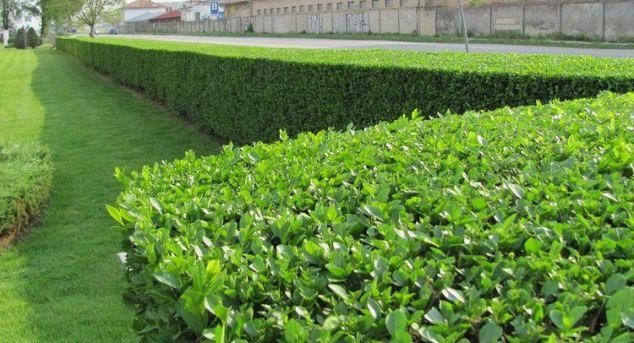 Gard viu, creștere rapida, lemn cainesc ligustrum, ulm de turkestan.