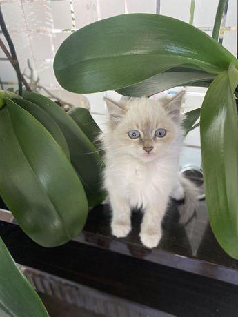 Отдам двух котят мешанные с Сибирской