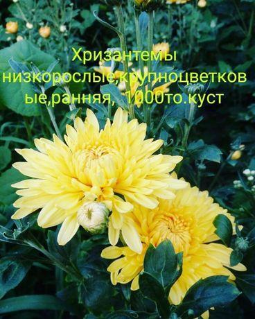 Продам Хризантемы 1500тенге куст