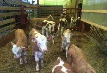 Продам корову телят бычков Ангус сементал герефорт белоголовые голштин