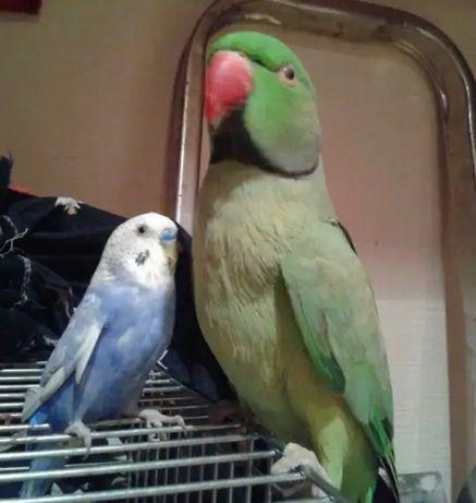 Продам большого красивого породистого попугая.