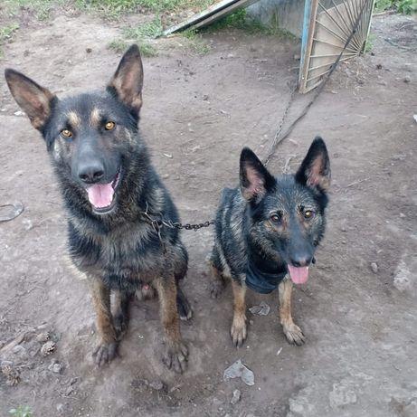 Продам щенков восточно европейской овчарки