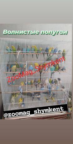 Попугаии волнистые 2600т