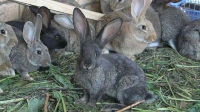 В продаже кролики на племя