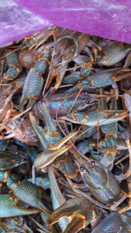 Раки морские живые, вареные, копченные (рыба морская)