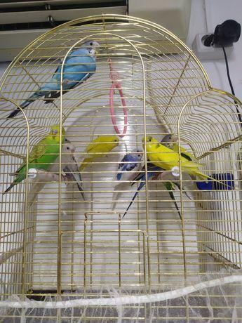 Волнистые попугаи 4000