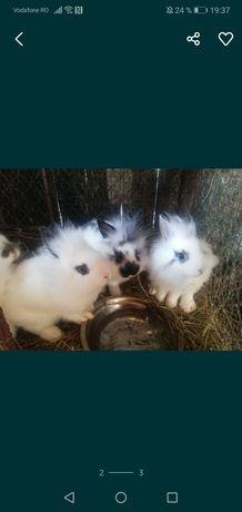 Vând iepuri Cap de Leu
