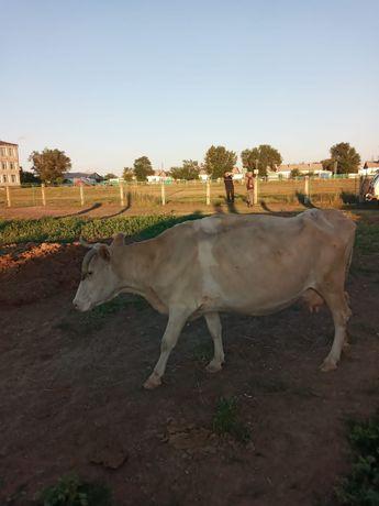 Продам корову молочную