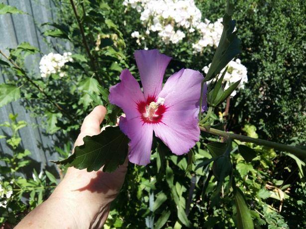 Гибискус цветущий.