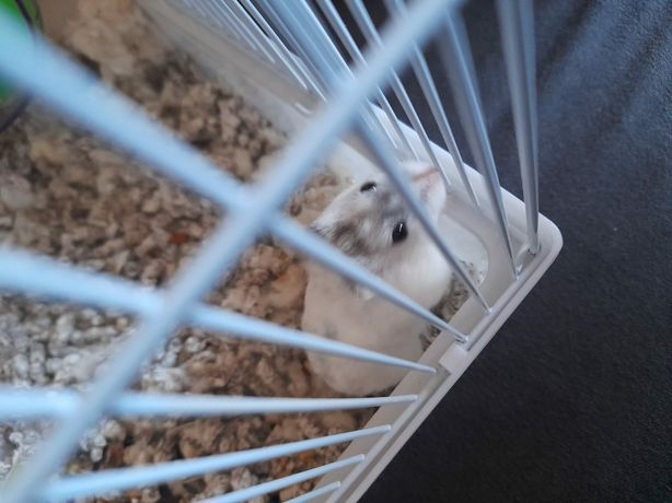 Vand hamsteru pui
