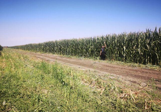 Продам кукурузу на силос