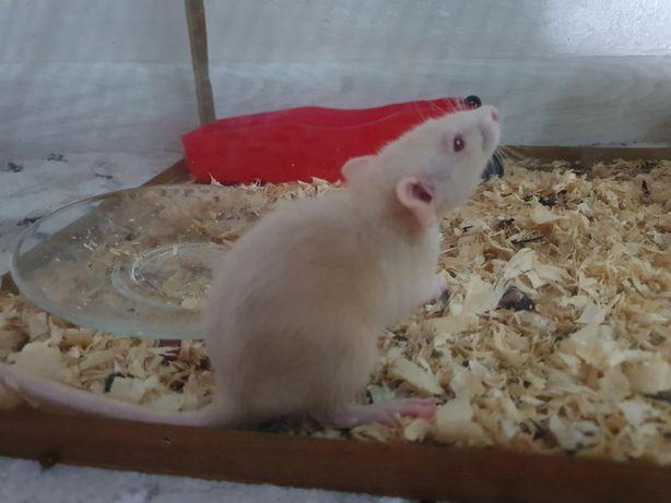 Отдам крысят в хорошие любящие руки