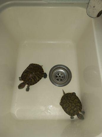 Продам черепаху. 2 штуки