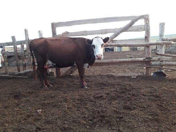 Продам корову 4,5 года