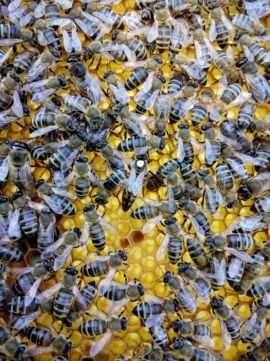 Roiuri, familii albine de vanzare