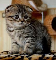 Вислоухий тигровый мальчик дёшево