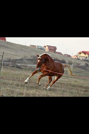Vand cai de rasa pentru echitatie + armasar frizian monta