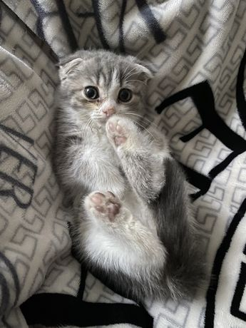 котенок метис скоттиш