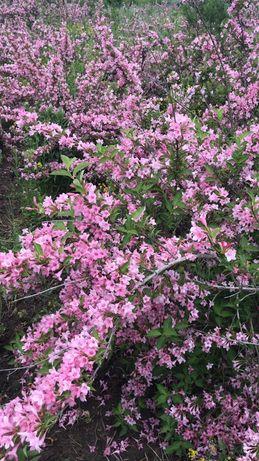 Vind arbusti ornamentali,conifere si garduri vii