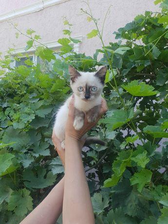 Сиамская котёнок ищет любящие ручки!