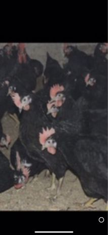 Черная курица петух черный яйца от черных кур доставка есть магчер
