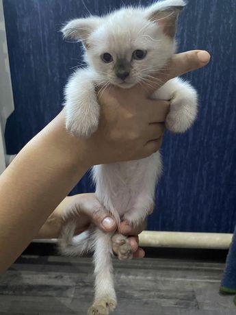 Продаю котят сеамские и веслоухие