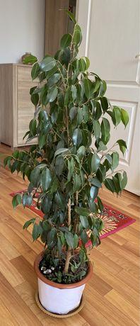 Продается комнатное растение фикус бенжамина+ в подарок кактус