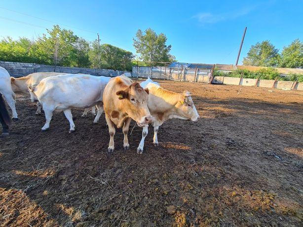 Коровы семментальской породы