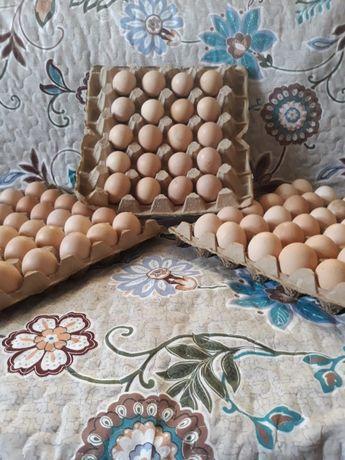 """Яйца для инкубации """"Белая Брама"""""""