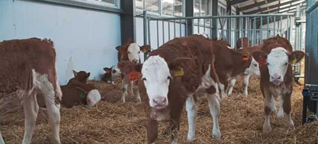 Карова бычок теленок матки