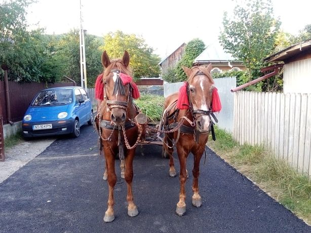Vând cai înhămati