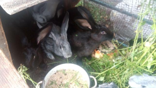 Продам кроликов гигантов 5месятцов 7000
