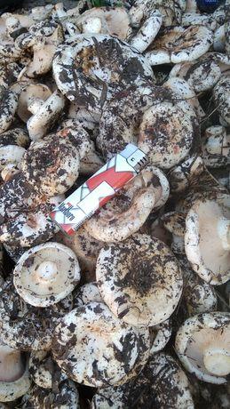 Продам грибы грузди