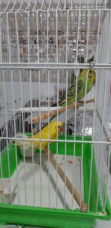 Papagali perusi ( pereche )