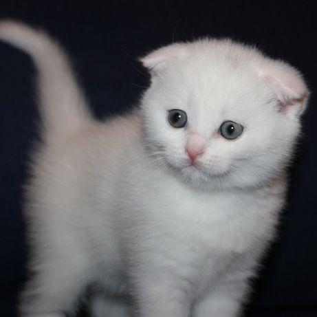 Шотландский скоттиш-фолд (вислоухий) мальчик