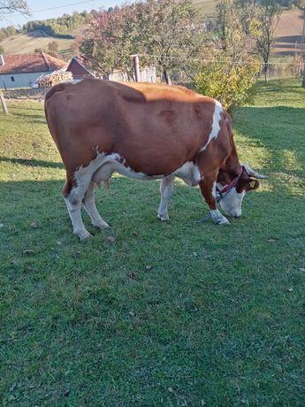 Vind vaci batată romanesca