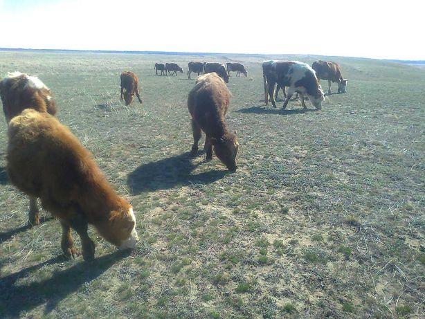 Крс скот корова бык молодняк оптом 23 головы
