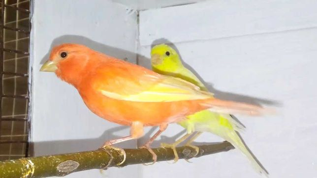Канарейка попугай У-Ка
