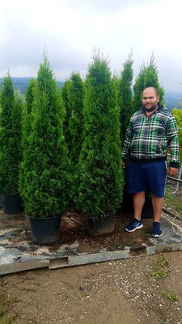 Tuia la ghiveci 2m - 2.3m ( thuja smaragd,  columnaris )