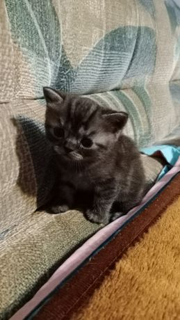 Продаю британского котенка